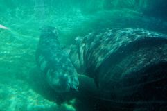 Flusspferdbabyschwimmen lizenzfreie stockbilder
