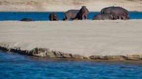 Flusspferde auf einem Sandbank Stockbild