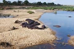 Flusspferde, die am Rand des Flusses stillstehen Lizenzfreies Stockfoto