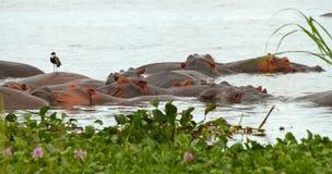 Flusspferde in einem Stapel Lizenzfreie Stockfotografie