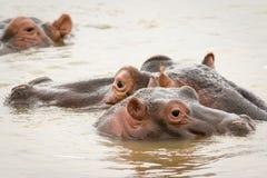 Flusspferde im Wasser Lizenzfreies Stockfoto