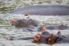 Flusspferde im Wasser Lizenzfreie Stockfotografie