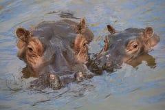Flusspferdmutter und -kind Stockfotos