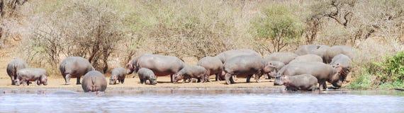 Flusspferdpanorama Lizenzfreie Stockbilder