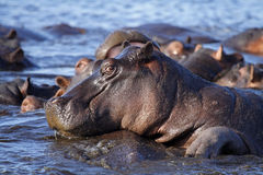 Flusspferdpool, Chobe Fluss, Caprivi Streifen, Botswana stockfoto