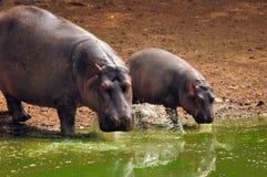 Flusspferdschätzchen mit Mutter Stockfotografie