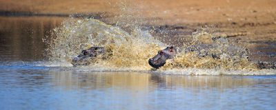 Flusspferdschwimmen lizenzfreie stockfotos