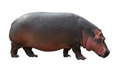 Flusspferdseite Lizenzfreies Stockfoto