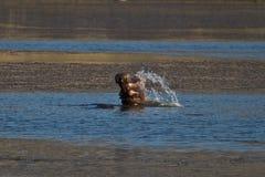 Flusspferdspritzen Lizenzfreies Stockfoto