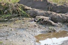 Flussregenpfeifer Lizenzfreie Stockbilder