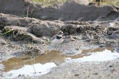 Flussregenpfeifer Lizenzfreies Stockfoto