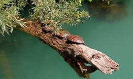 Flussschildkröten während der Decksaison lizenzfreies stockbild