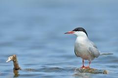 Flussseeschwalbe Lizenzfreie Stockfotos