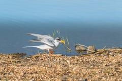 Flussseeschwalbe lizenzfreies stockbild
