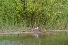 Flussseeschwalbe auf dem Nest Stockfotografie