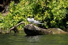 Flussseeschwalbe und Krabbe Lizenzfreie Stockfotos