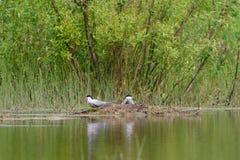 Flussseeschwalben auf dem Nest Lizenzfreie Stockfotografie