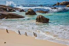 Flussstein-Pinguin-Kolonie in Südafrika Stockbilder