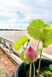 Flussufer-rosafarbener Lotos Stockfotografie