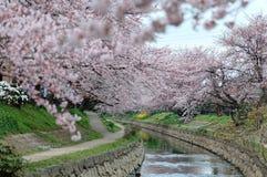 Flussufergehwege unter schönen Torbögen von rosa Kirschblütenbäumen Sakura Namiki entlang der Flussbank Stockbilder
