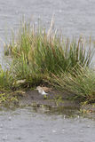 Flussuferläufer (Actitis hypoleucos) Lizenzfreies Stockbild