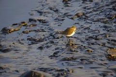 Flussuferläufer, Actitis hypoleucos Gefunden in den Sumpfgebieten Lizenzfreie Stockfotografie