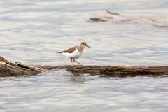 Flussuferläufer Actitis hypoleucos Vogel Stockbild