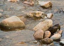 Flussuferläufer auf einem Felsen Stockfotografie