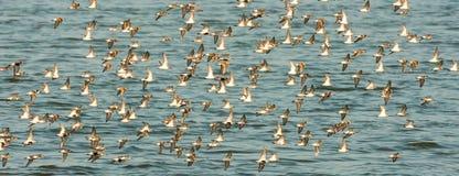 Flussuferläufer im Flug Lizenzfreies Stockfoto