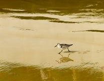 Flussuferläufer mit Reflexion auf nassem Sand Stockfotos