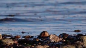 Flussuferläufer, Seegehender Vogel, jagend und watscheln entlang den Küstenkieseln von einer Mündung in Schottland am Nachmittag  stock video