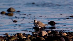 Flussuferläufer, Seegehender Vogel, jagend und watscheln entlang den Küstenkieseln von einer Mündung in Schottland am Nachmittag  stock footage