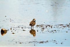 Flussuferläufer-Vogel, der im Mangroven-Sumpf-Sumpfgebiet herumsucht lizenzfreies stockbild
