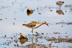 Flussuferläufer-Vogel, der im Mangroven-Sumpf-Sumpfgebiet herumsucht stockfoto