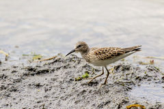 Flussuferläufer-Watvögel Lizenzfreie Stockfotos