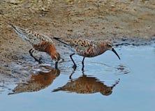 Flussuferläuferpaare Stockfoto