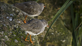 Flussuferläufervögel Lizenzfreie Stockfotografie