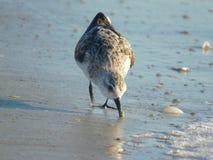 Flussuferläufervogel von Florida, USA lizenzfreie stockfotos