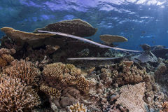 Flute fish over hard coral reef Stock Photo