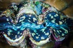 Fluted giant bunaken sulawesi indonesia tridacna squamosa underwater Royalty Free Stock Photography