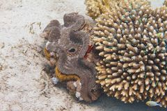 Fluted Giant Tridacna squamosa in Red Sea. Fluted Giant Tridacna squamosa next to Acropora humilis coral with Green Chromis on coral reef in Red Sea off Eilat royalty free stock photos