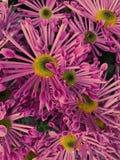 Fluted ha modellato le margherite porpora fotografie stock
