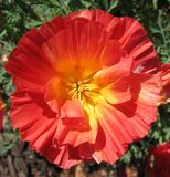 fluted salmon-colored poppy Stock Photography