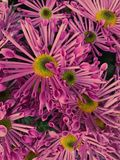 Fluted shaped purple daisies Stock Photos