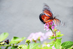 Flutter of butterfly Stock Photography