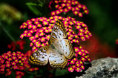 Flutterbys e fiori Fotografie Stock