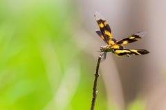 Flutterer abigarrado - retrato de la libélula Imágenes de archivo libres de regalías