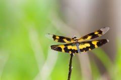 Flutterer abigarrado - retrato de la libélula Fotografía de archivo