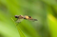 Flutterer & x28 Amarelo-barrados; Phyllis& x29 de Rhyothemis; libélula Imagens de Stock Royalty Free