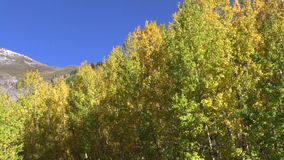 Fluttering Aspens in Fall Royalty Free Stock Images